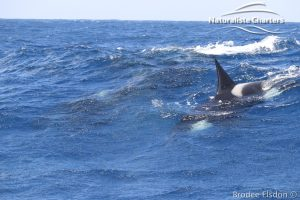 Killer Whales Swimming