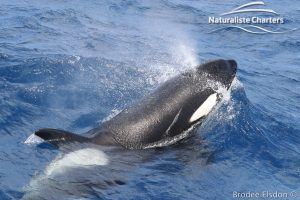 Killer Whale Close up
