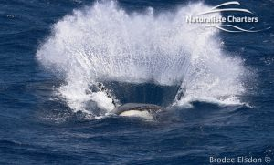 A big splash created by an orca