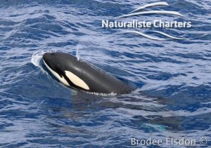 Body of a killer whale showing its hole
