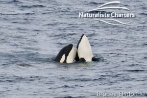 A number of orca