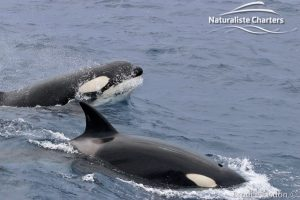 Killer Whale Surging