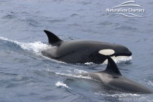 Two Orcas Surging