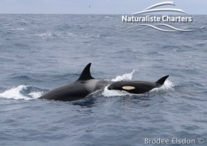 Group of Killer Whale