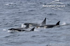 Group of Killer Whales