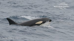 Killer Whale (Orca) Watching in Bremer Bay - February 23, 2020 - 18