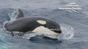 Killer Whale (Orca) Watching in Bremer Bay - February 23, 2020 - 21