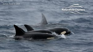 Killer Whale (Orca) Watching in Bremer Bay - February 23, 2020 - 24