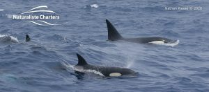 Orca Whale Watching in Bremer Canyon - February 26, 2020 - 13