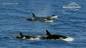 Three orcas in Bremer Canyon