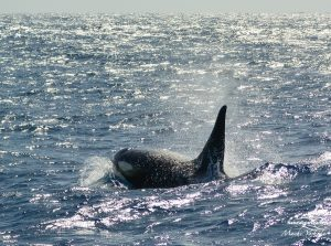 Orca Watching Tours in Bremer Canyon - February 17, 2020 - 19