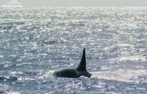 Orca Watching Tours in Bremer Canyon - February 17, 2020 - 21