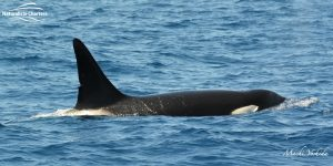 orca in bremer canyon