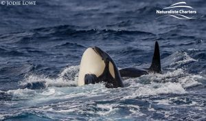 Whale Watching in Western Australia - March 8, 2020 - 2