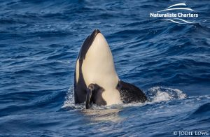 Whale Watching in Western Australia - March 8, 2020 - 4