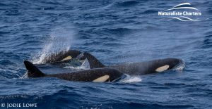 Whale Watching in Western Australia - March 8, 2020 - 6