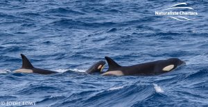 Whale Watching in Western Australia - March 8, 2020 - 7