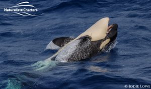 Whale Watching in Western Australia - March 8, 2020 - 12