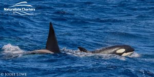 Whale Watching in Western Australia - March 8, 2020 - 20