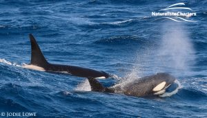 Whale Watching in Western Australia - March 8, 2020 - 21