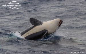 Killer whale in Bremer Canyon - 5th of March 2020 - 13