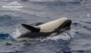 Killer whale in Bremer Canyon - 5th of March 2020 - 14