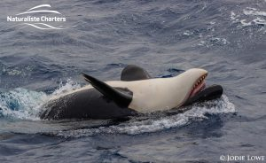 Killer whale in Bremer Canyon - 5th of March 2020 - 15