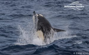 Killer whale in Bremer Canyon - 5th of March 2020 - 18