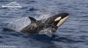 Killer whale in Bremer Canyon - 5th of March 2020 - 19