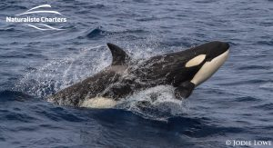 Killer whale in Bremer Canyon - 5th of March 2020 - 20