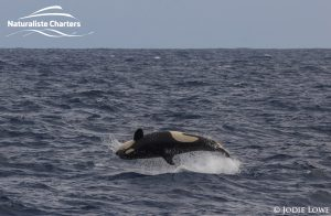 Killer whale in Bremer Canyon - 5th of March 2020 - 21