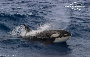 Killer whale in Bremer Canyon - 5th of March 2020 - 23