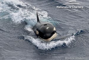 Killer whale in Bremer Canyon - 5th of March 2020 - 3