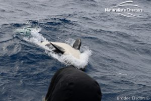 Killer whale in Bremer Canyon - 5th of March 2020 - 5