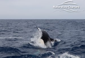 Killer whale in Bremer Canyon - 5th of March 2020 - 7