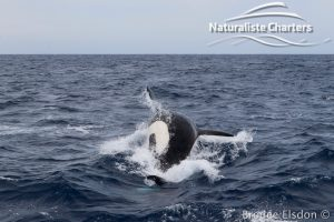 Killer whale in Bremer Canyon - 5th of March 2020 - 8
