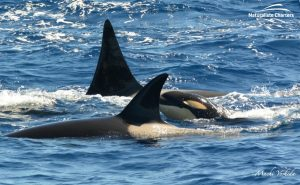 Orca Australia - Killer Whale Watching in Bremer Canyon - Mar 12, 2020 - 8