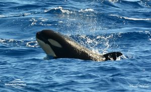 Orca Australia - Killer Whale Watching in Bremer Canyon - Mar 12, 2020 - 7