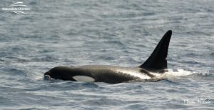 Killer Whale Watching in Bremer Canyon - March 12, 2020 - 1