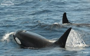 Killer Whale Watching in Bremer Canyon - March 12, 2020 - 2