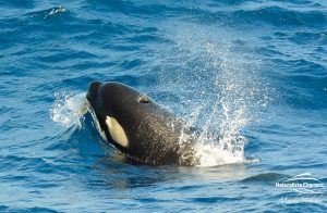 Killer Whale Watching in Bremer Canyon - March 12, 2020 - 4