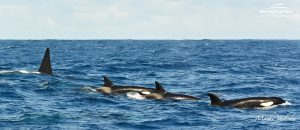 Killer Whale Watching in Bremer Canyon - March 12, 2020 - 6
