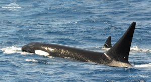 Killer Whale Watching in Bremer Canyon - March 12, 2020 - 7