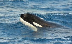 Killer Whale Watching in Bremer Canyon - March 12, 2020 - 9