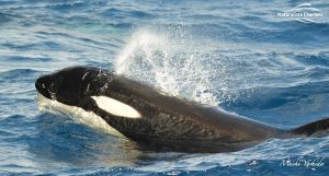 Killer Whale Watching in Bremer Canyon - March 12, 2020 - 8