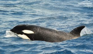 Killer Whale Watching in Bremer Canyon - March 12, 2020 - 12
