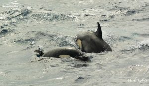 Killer Whale Watching in Bremer Canyon - March 12, 2020 - 15
