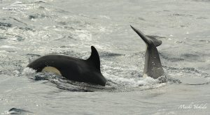 Killer Whale Watching in Bremer Canyon - March 12, 2020 - 17