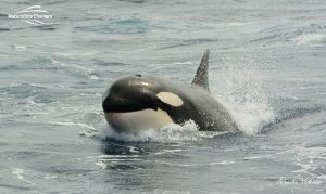 Killer Whale Watching in Bremer Canyon - March 12, 2020 - 18
