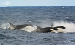 Killer Whale Watching in Bremer Canyon - March 12, 2020 - 20